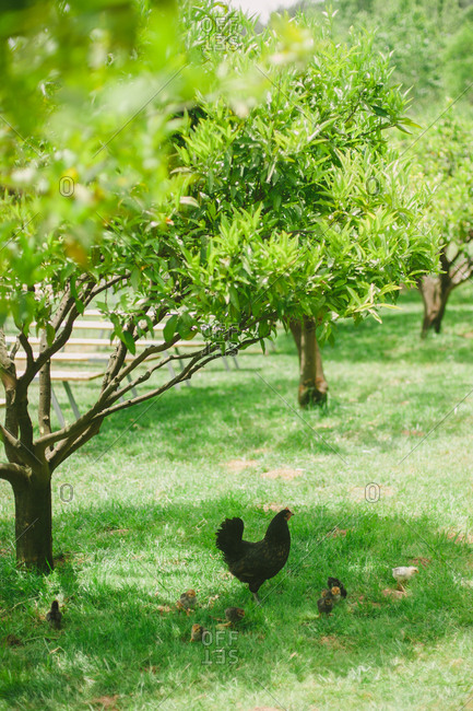 Chicken and chicks grazing in yard