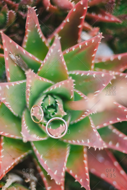 Wedding rings on succulent plant