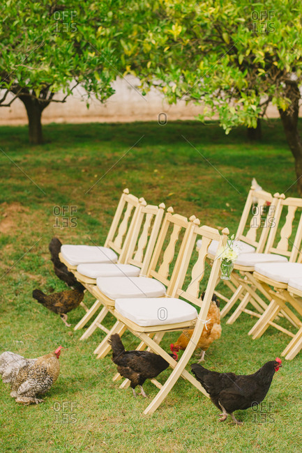 Chickens among chairs for wedding