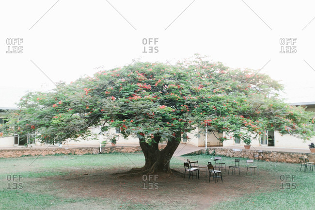 Large tree with red blossoms