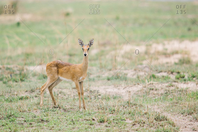 Young gerenuk in an African field