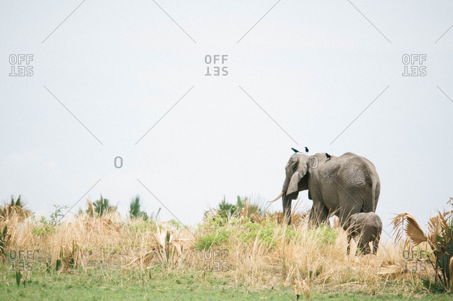 Elephant mother and baby walking together