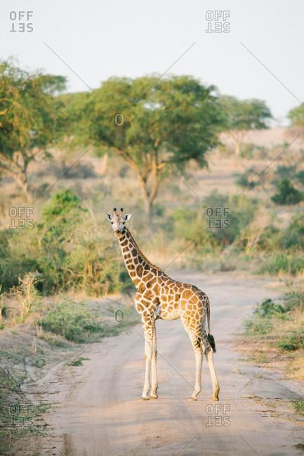 Giraffe walking down path of safari