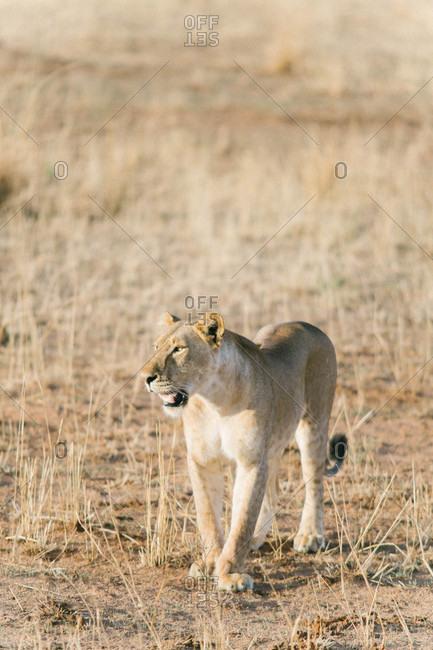 Female lion walking in an African field