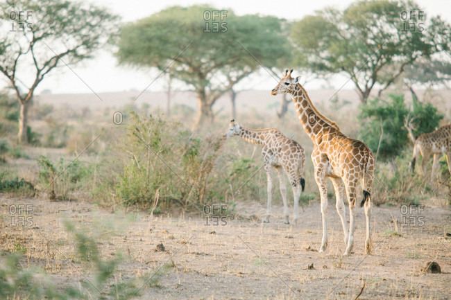Group of giraffes on an African safari