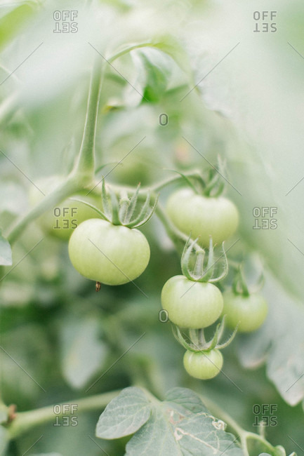 Close up of green tomatoes growing on a vine