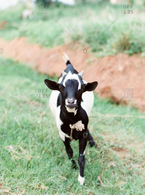 Close up of a young black and white goat