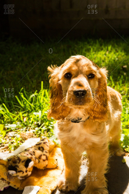 Puppy in yard by toys