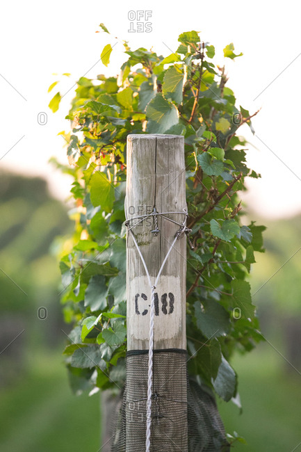 Pole for grapevines at orchard