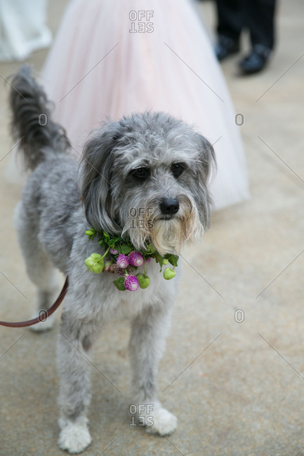 Dog with flower collar for wedding