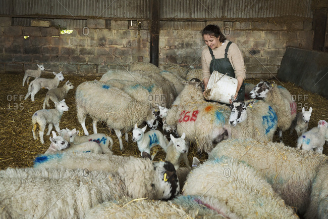 Woman feeding flock of sheep and newborn lambs with numbers painted onto their sides, standing in a stable on straw