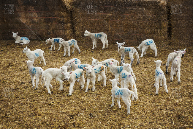 Flock of newborn lambs with blue numbers painted onto their sides standing in a stable on straw