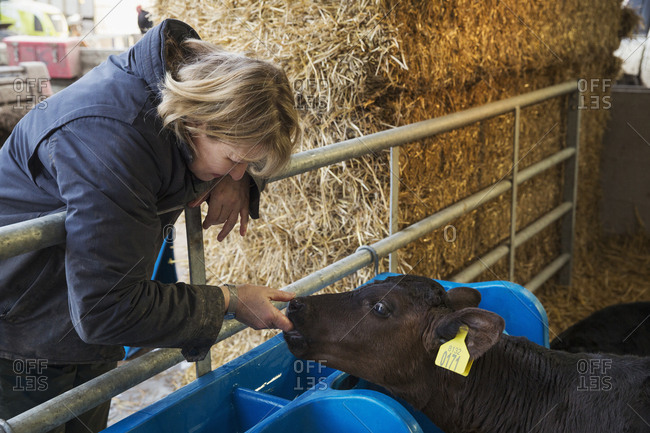 Woman standing in a stable, touching the nose and mouth of a black calf
