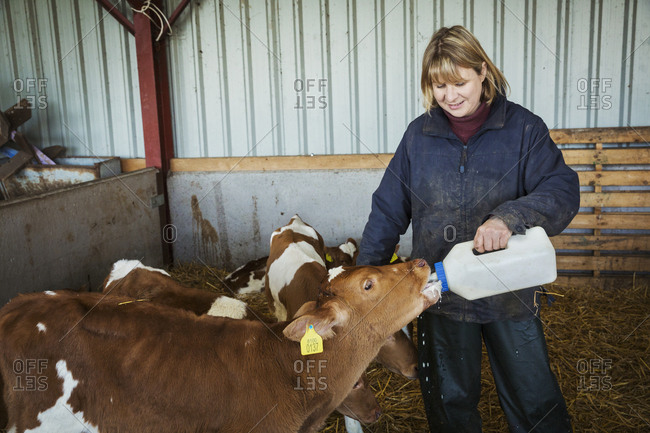 Woman standing in a stable, bottle feeding brown and white calves