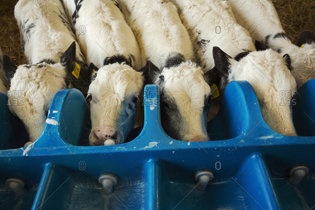 High angle view of five white calves drinking from a milk feeder