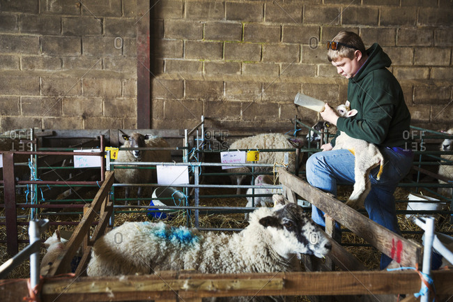 Man standing next to a sheep pen in a stable, holding and bottle feeding a newborn lamb