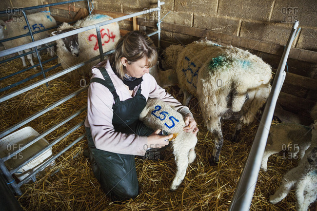 Woman kneeling in a stable, painting a blue number on a newborn lamb