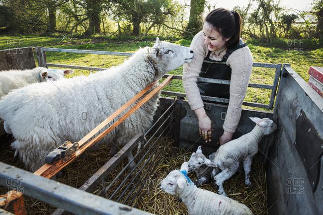 Woman standing beside a trailer with two ewes and three newborn lambs