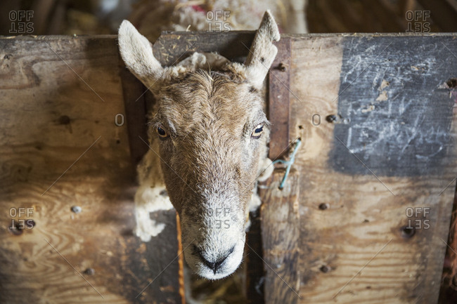 Sheep looking at the camera through a gap in a wooden pen in a stable