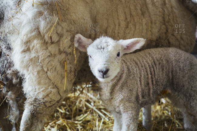 Ewe with newborn lamb inside a stable, standing on straw
