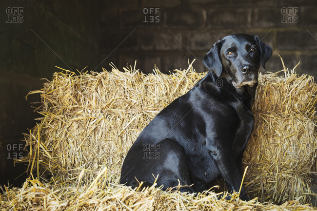 Black Labrador dog sitting on a bale of straw in a stable