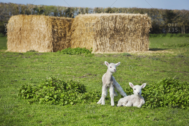 Two newborn lambs on a pasture, large stacks of straw in the background