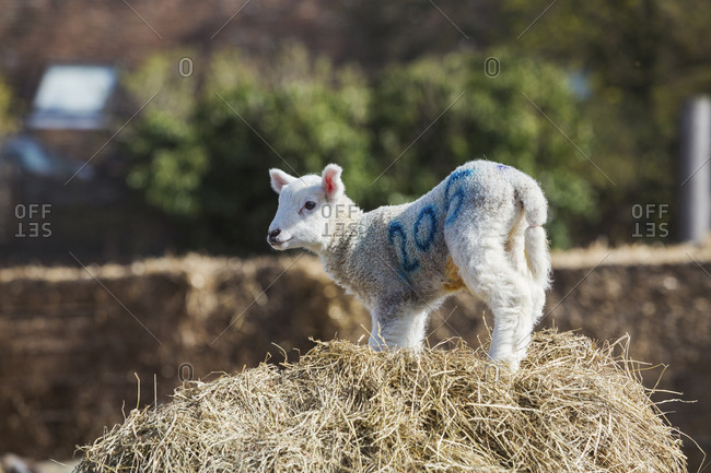 Newborn lamb standing on a bale of straw