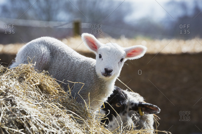 Newborn lamb peeking out from behind a bale of straw