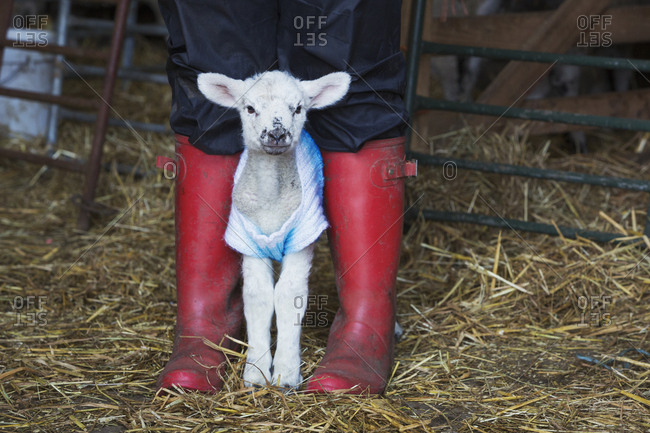 Newborn baby lamb dressed in a knitted jumper standing between the legs of a person wearing red Wellington Boots