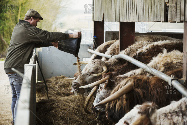 A farmer emptying feed in to a trough for a row of longhorn cattle, in a barn