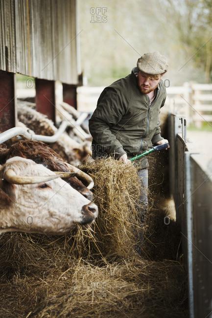 A farmer with a pitchfork of hay, feeding a row of longhorn cattle in a barn