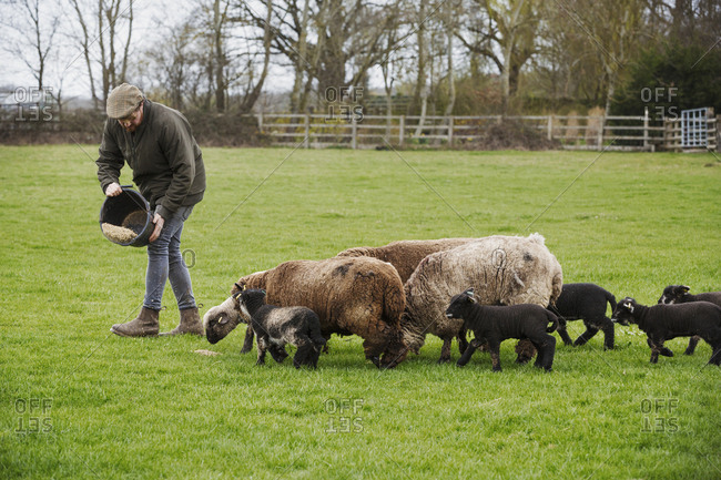 A group of adult sheep and lambs following a man sprinkling  feed on from a bucket onto the ground