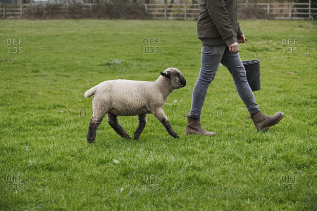 A farmer walking across a field with a bucket of feed, followed closely by a sheep