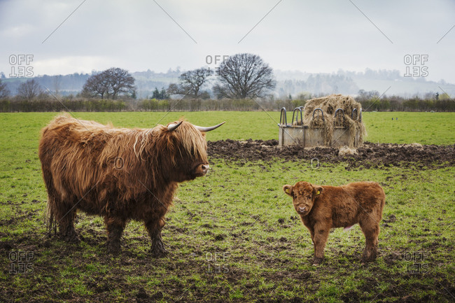 A highland cow and calf in a field by a hay feed holder