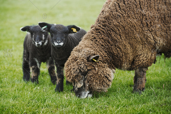 A brown sheep and two black lambs in a field