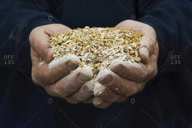 Close up of human hands holding golden malt, a major ingredient for flavoring craft beer