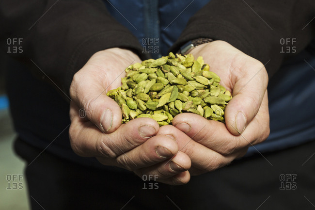 Close up of human hands holding cardamom pods used to flavor craft beers
