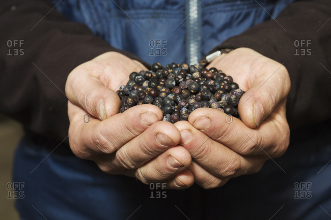 Close up of human hands holding juniper berries used to flavor beer