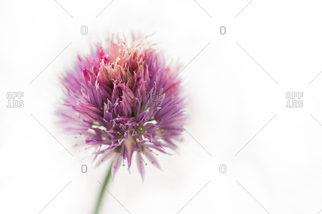 A chive flower in bloom