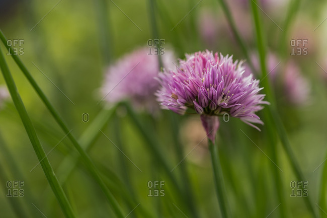 Chive flowers in bloom