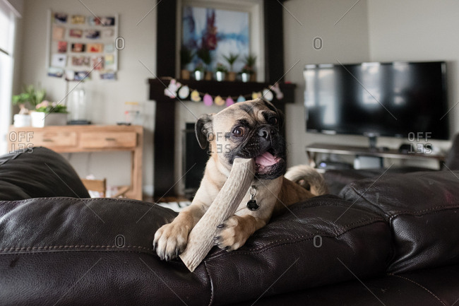 Cute pug chewing on a toy