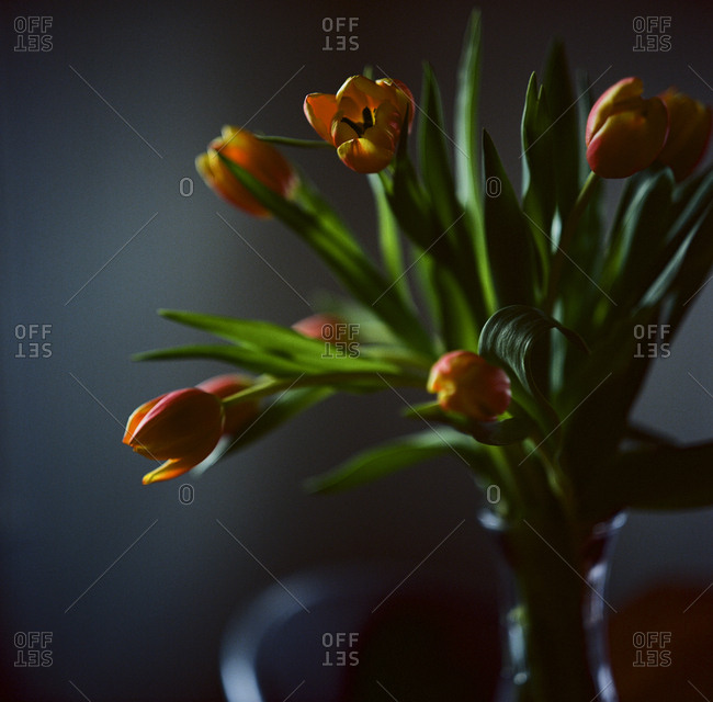 Tulips in shadows in home