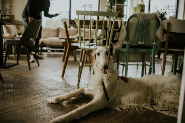 Borzoi dog resting on hardwood floor