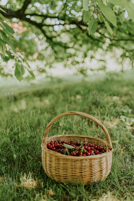 Basket filled with fresh picked cherries