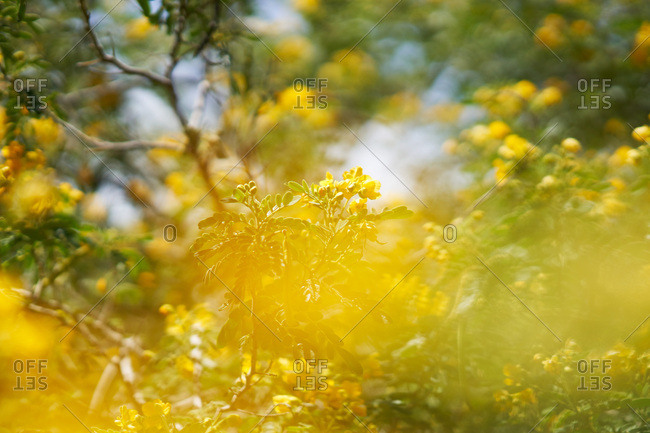 Yellow flowering tree branches