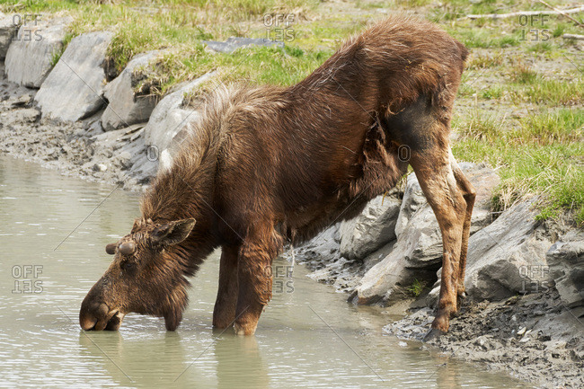 Moose drinking water in Alaska
