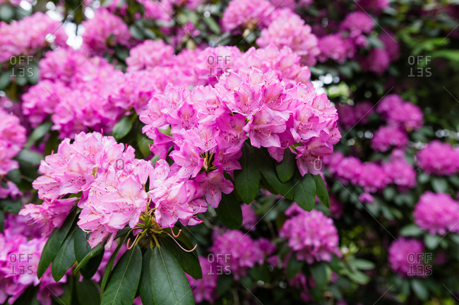 A purple rhododendron bush