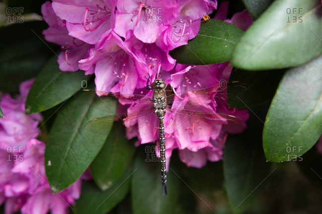 Dragonfly on rhododendron bush