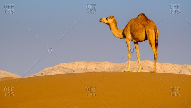 Camel standing in desert, UAE