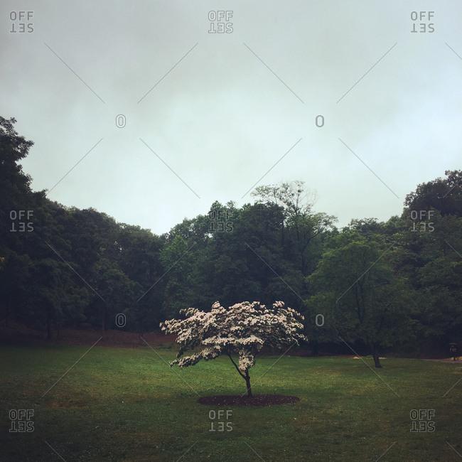 Flowering lone tree in clearing
